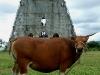canossa-cow Livania de Jesus