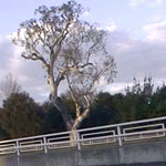 Corroborree-Tree