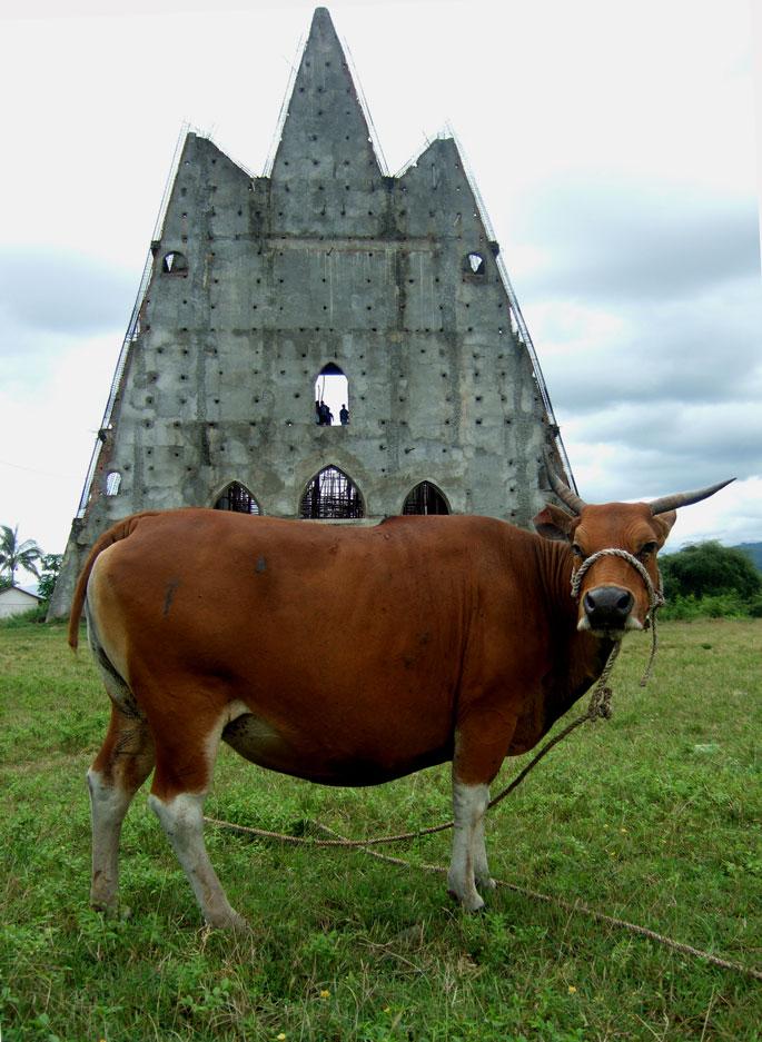 canossa-cow-liv